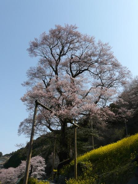 ひょうたん桜 5