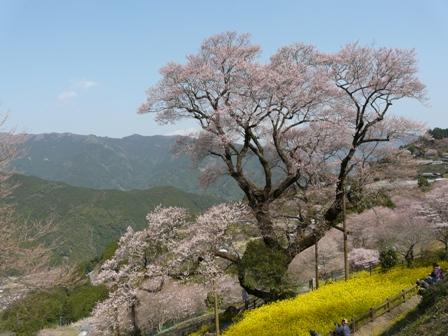 ひょうたん桜 1