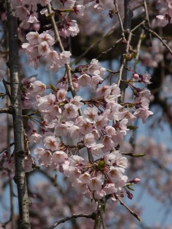 古田のしだれ桜 4