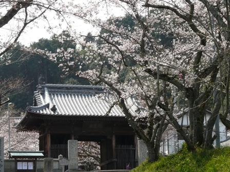 久妙寺の桜 1