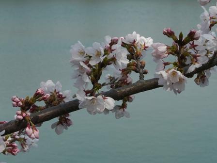 久妙寺の桜 2