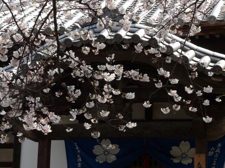 久妙寺の桜 4