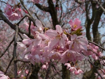 久妙寺の桜 5