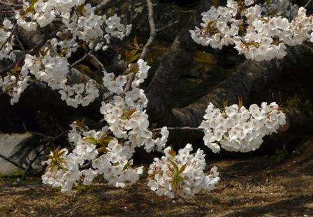 実報寺の一樹桜 2