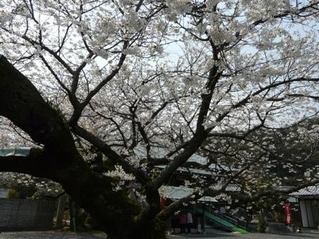 実報寺の一樹桜 4