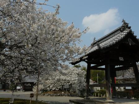 実報寺の一樹桜 6