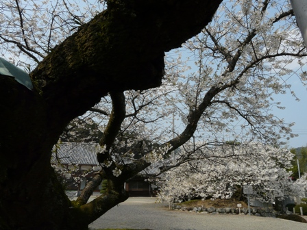 実報寺の一樹桜 5