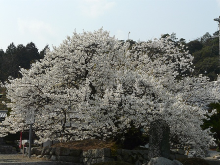 実報寺の一樹桜 1