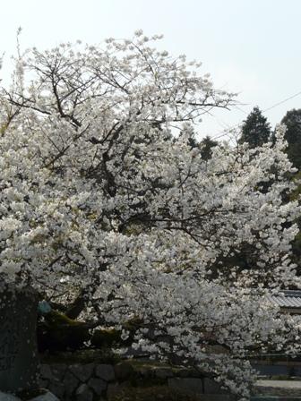 実報寺の一樹桜 3