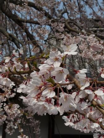 無量寺のしだれ桜 3