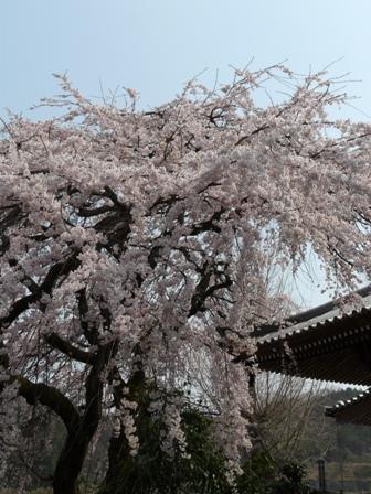 無量寺のしだれ桜 5