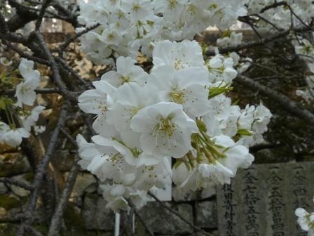 満願寺のしぐれ桜 3