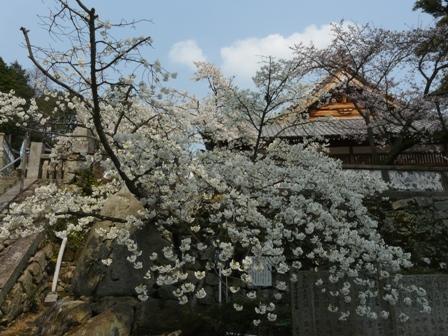 満願寺のしぐれ桜 1