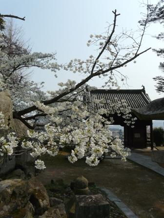 満願寺のしぐれ桜 2