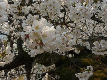 満願寺のしぐれ桜 5