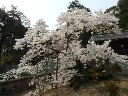 満願寺のしぐれ桜 4