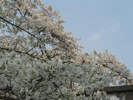 満願寺のしぐれ桜 6