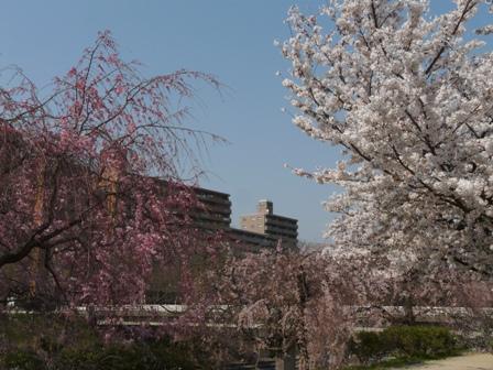 石手川公園の桜 3