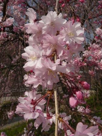 石手川公園の桜 6