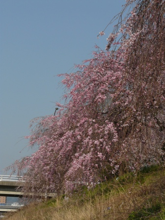 石手川公園の桜 2