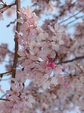 石手川公園の桜 5