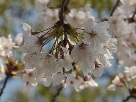 石手川公園の桜 7