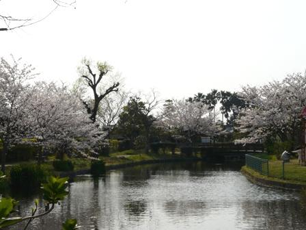 ひょこたん池公園の桜 1