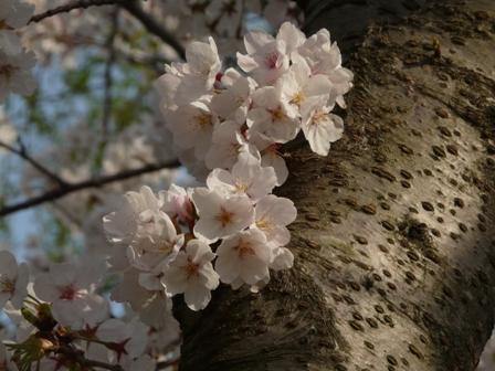 ひょこたん池公園の桜 2