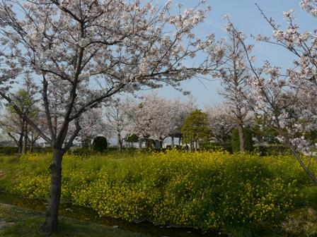 福徳泉公園の桜 2
