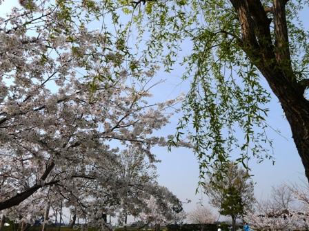 福徳泉公園の桜 4