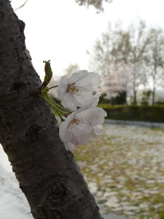 福徳泉公園の桜 5