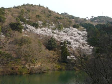 大谷池の桜 2