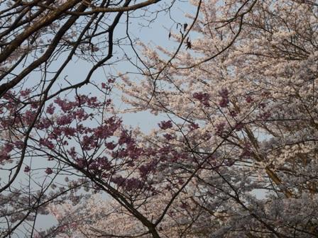 谷上山の桜 2
