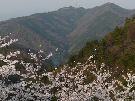 谷上山の桜 3