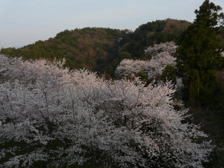 谷上山の桜 4