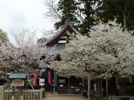 西法寺の薄墨桜 & 大島桜