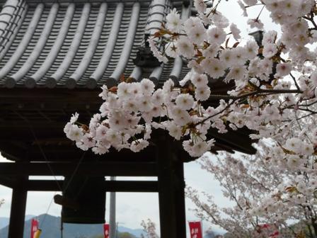 西法寺の薄墨桜 4