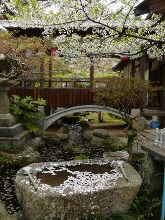 西法寺 大島桜