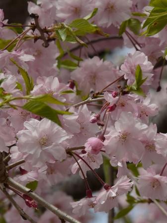 石手寺 しだれ桜 2