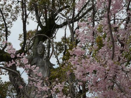 石手寺 しだれ桜 1