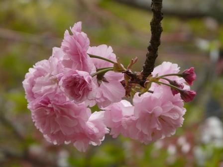 道後公園 八重桜