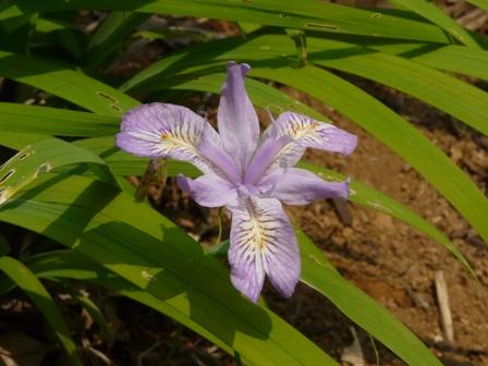 筑波実験植物園 ヒメシャガ