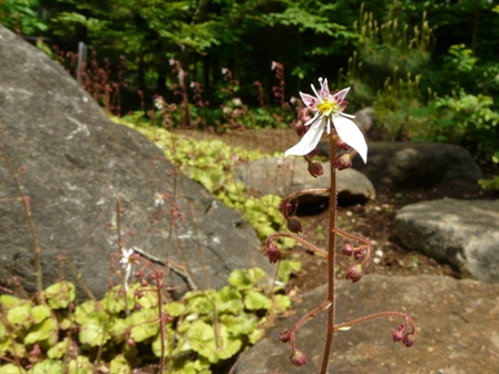 筑波実験植物園 ホシザキユキノシタ 1