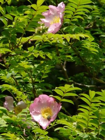 筑波実験植物園 サンショウバラ 2