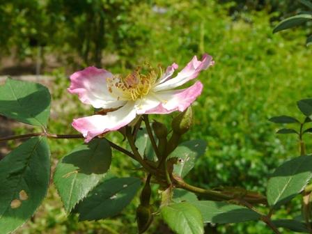 筑波実験植物園 バラ サクライバラ 2
