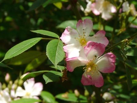 筑波実験植物園 バラ サクライバラ 1