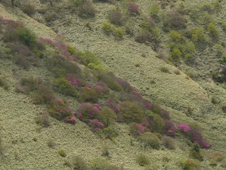 大川嶺とその周辺 ツルギミツバツツジ 1