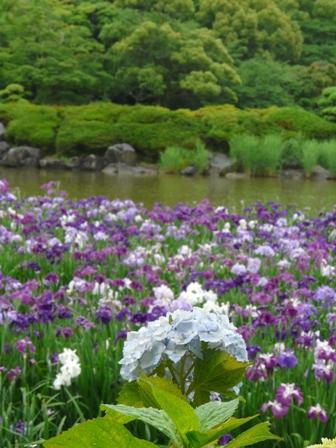南楽園 花菖蒲 10