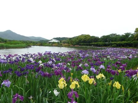南楽園 花菖蒲 9