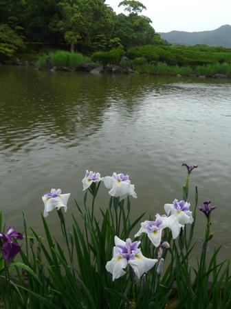 南楽園 花菖蒲 12